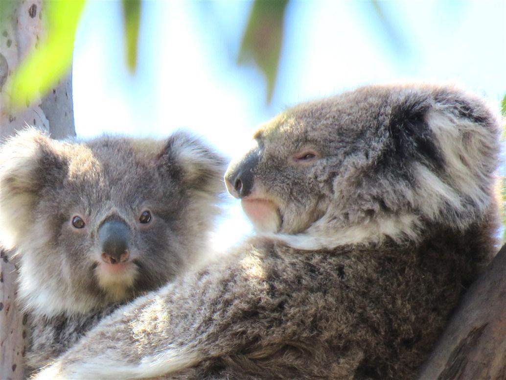 koala-with-joey