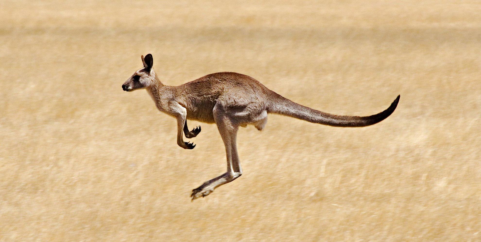 conservation tours kangaroos