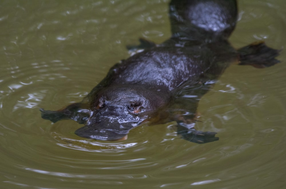 Platypus : how to find one