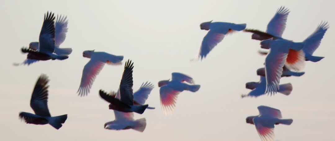 pink-cockatoos-galahs-mungo-national-park