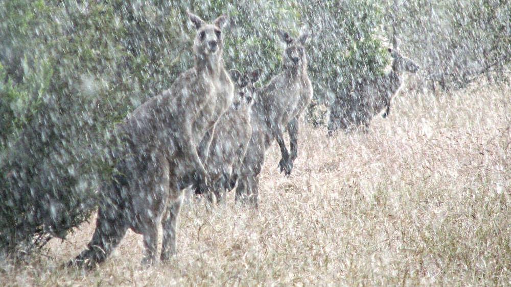 kangaroos-in-a-hailstorm