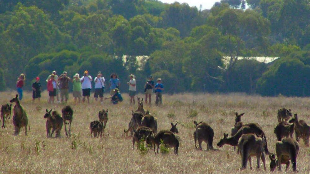 kangaroos-with-group
