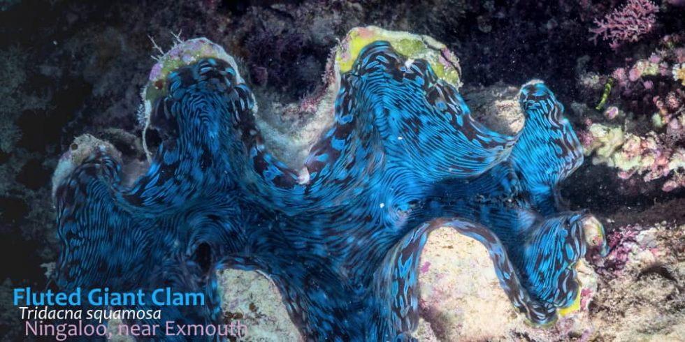 giant-clam-ningaloo