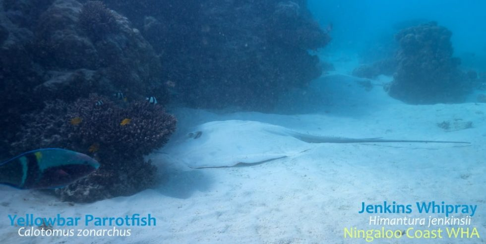 jenkins-whipray-parrotfish