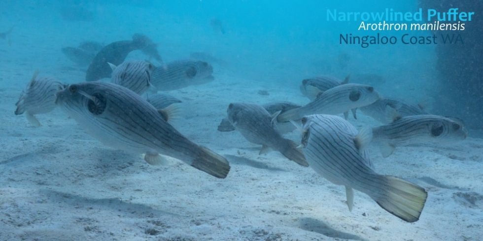 narrowlined-puffer-ningaloo